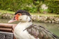 Pato em uma cerca de madeira Imagens de Stock Royalty Free