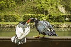Pato em uma cerca de madeira Fotos de Stock Royalty Free