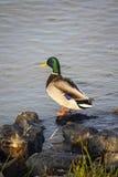 Pato em uma curvatura do rio Fotos de Stock
