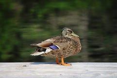 Pato em uma doca Imagens de Stock Royalty Free