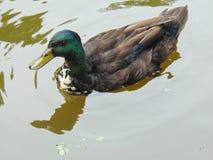 Pato em uma lagoa Fotografia de Stock