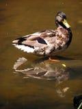 Pato em uma lagoa. Imagem de Stock