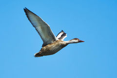 Pato em voo Fotos de Stock Royalty Free