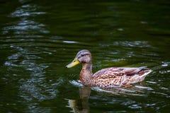 Pato en agua fotos de archivo
