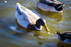 Pato en agua con descensos Fotografía de archivo