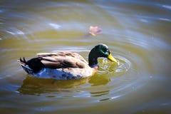 Pato en agua con descensos del pico Imagen de archivo