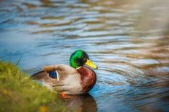 Pato en agua imágenes de archivo libres de regalías