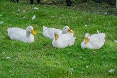 Pato en césped en granja imagen de archivo libre de regalías