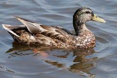 Pato en el agua Fotos de archivo libres de regalías