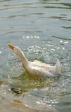 Pato en el agua Imagenes de archivo