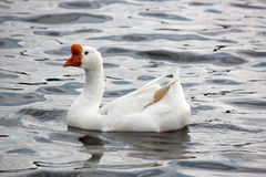 Pato en el agua Foto de archivo libre de regalías