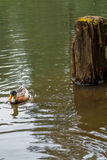 Pato en el agua Imagen de archivo