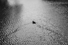 Pato en el agua Fotografía de archivo libre de regalías