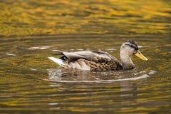 Pato en el agua Fotografía de archivo