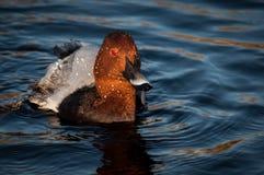 Pato en el agua, Finsbury Park, Londres del pelirrojo Imágenes de archivo libres de regalías