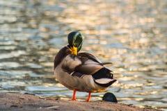 Pato en el fondo del lago foto de archivo