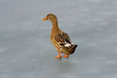 Pato en el hielo Fotografía de archivo libre de regalías