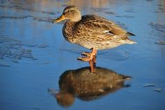 Pato en el hielo fino Imagen de archivo libre de regalías