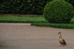 Pato en el jardín Imagen de archivo