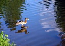 Pato en el lago de la ciudad con las alas separadas fotografía de archivo libre de regalías