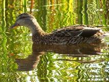 Pato en el parque Imagenes de archivo
