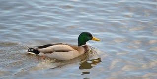 Pato en el río Imagenes de archivo
