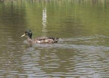 Pato en el río en el parque imagen de archivo