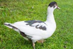 Pato en Filipinas Imagenes de archivo
