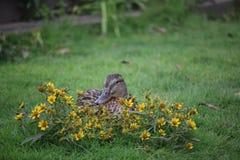 Pato en flores Fotos de archivo