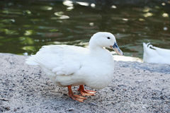Pato en la arena Imagen de archivo libre de regalías