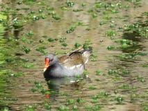 Pato en la charca Fotos de archivo