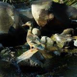 Pato en la charca Imagen de archivo