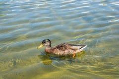 Pato en la charca Fotografía de archivo libre de regalías