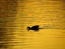 Pato en la charca en la puesta del sol Foto de archivo