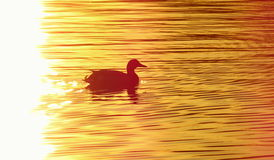 Pato en la charca en la puesta del sol Fotos de archivo