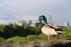 Pato en la ciudad foto de archivo libre de regalías