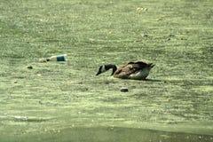 Pato en la contaminación Imágenes de archivo libres de regalías