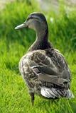 Pato en la hierba Imagenes de archivo