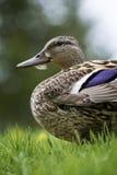 Pato en la hierba Imagen de archivo libre de regalías