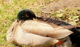 Pato en la hierba Fotografía de archivo libre de regalías
