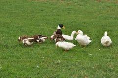 Pato en la hierba foto de archivo libre de regalías