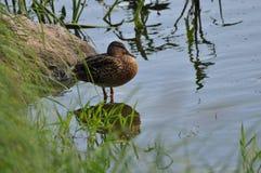 Pato en la hierba en el banco Imagen de archivo