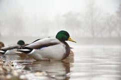 Pato en la niebla Fotografía de archivo libre de regalías