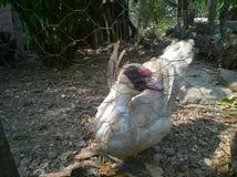 Pato en la yarda Imagen de archivo