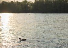 Pato en puesta del sol Imagen de archivo