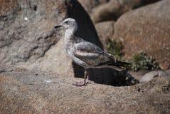 Pato en rocas Fotos de archivo libres de regalías
