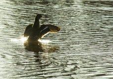 Pato en sol Fotografía de archivo