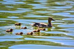 Pato en un lago Imagen de archivo