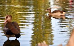 Pato en un lago Fotos de archivo libres de regalías