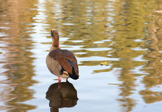 Pato en un lago Foto de archivo